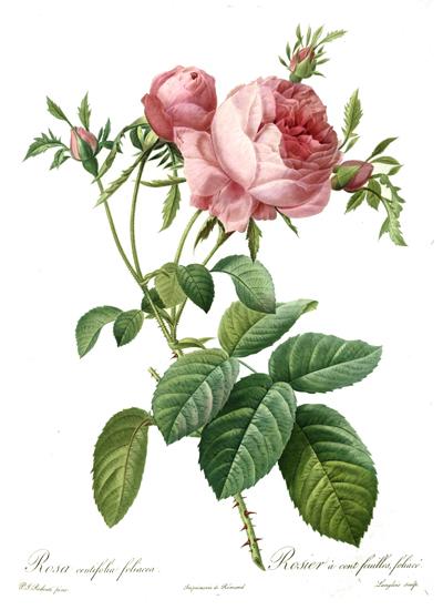 Rosa Centifolia, Redoute