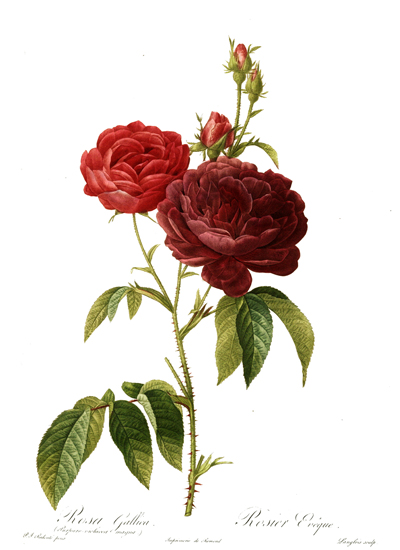 Rosa Gallica, Redoute (16X22)